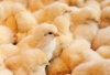 More Than Chicken Feed for Energy Efficiency Savings and Investment